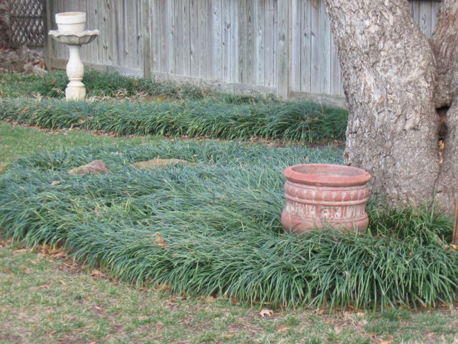 If you plan to cut back your Liriope, also known as 'Monkey Grass' or Lily Turf, March is the time to do it.