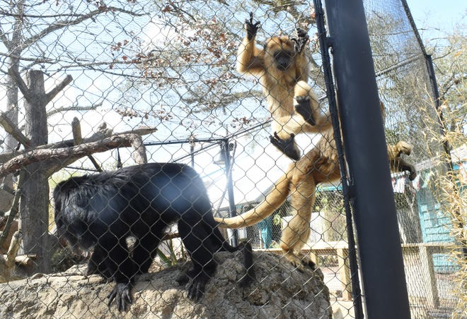 The Black Howler Monkey enclosure at the Alexandria Zoo was among those damaged during Hurricane Laura last year. The zoo will reopen March 12. The male Black Howler Monkeys are black while the females and juveniles are brown.