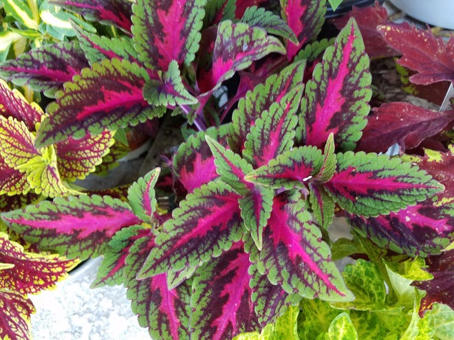 Ruby Road coleus features a striking hot pink center.
