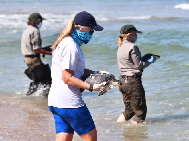 38 sea turtles, suffering from cold stunning in  New England, were rehabilitated and flown to Kennedy Space Center on Friday.  With cooperation from numerous state and federal agencies, the turtles were flown to the Launch and Landing Facility at Kennedy Space Center, driven in vans to the Canaveral National Seashore and released. 37 of the turtles were endangered Kemp's Ridley sea turtles.