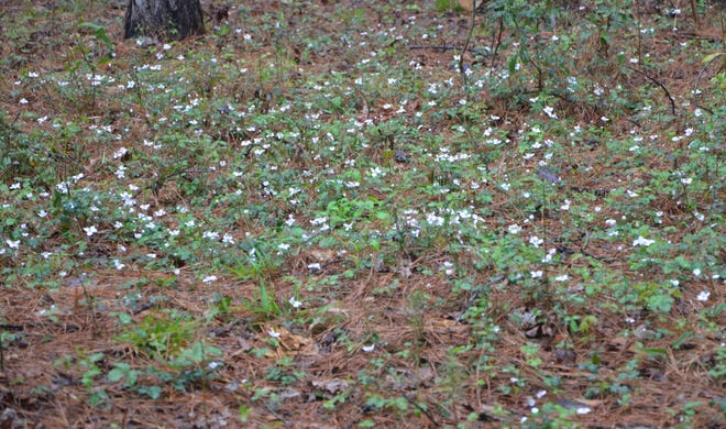 Appearing vaguely like snowflakes, low growing dewberries are blooming now. While they do produce a tasty fruit, they are difficult to control in the home landscape and the thorns can be painful.