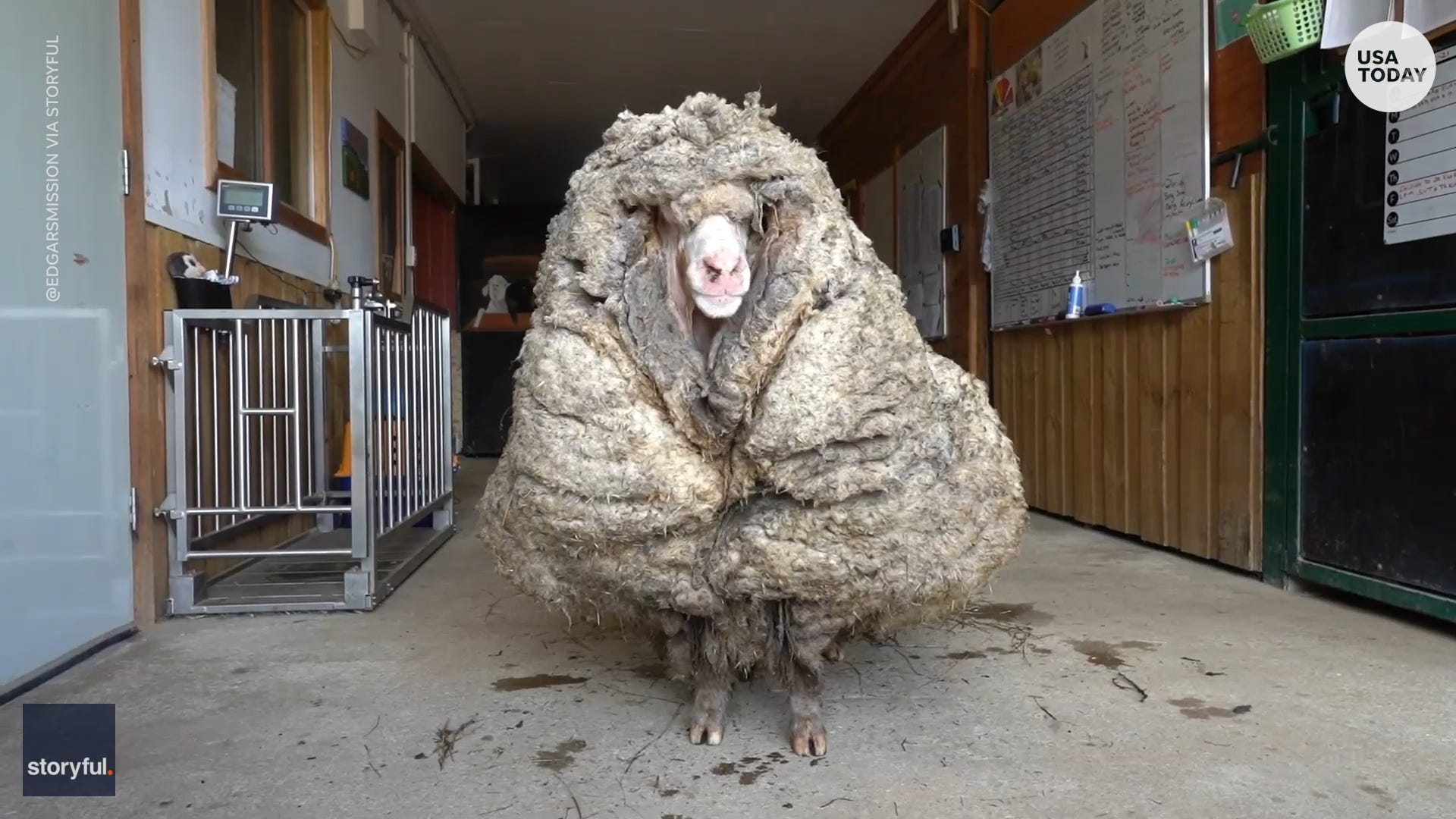 Rescued sheep has more than 75 pounds of matted fleece removed after years in woods