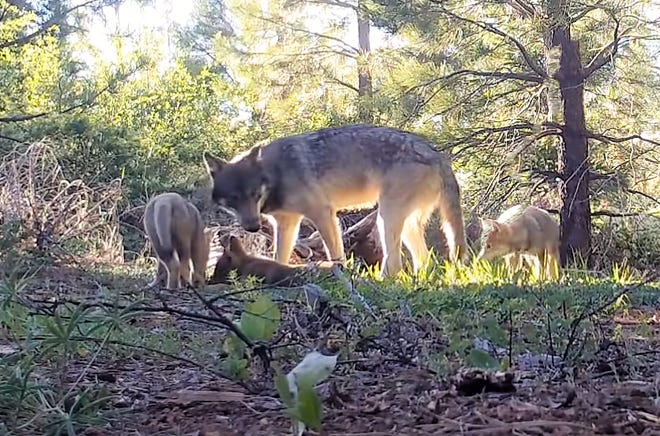 A remote video image by the California Department of Fish and Wildlife shows a wolf and three pups walking through the woods in June 2019 in Lassen County.