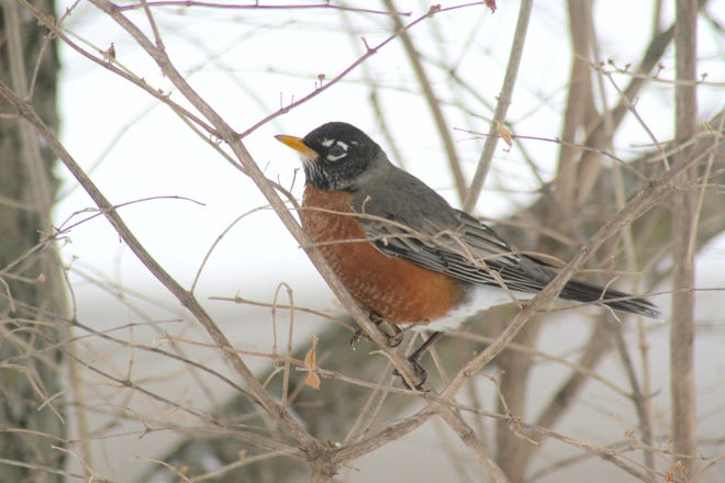 A robin is pictured Feb. 18 in a yard in Tecumseh. Seen as a symbol of the start of spring due to seasonal migrations, the American robin can be found in southern Michigan all year.