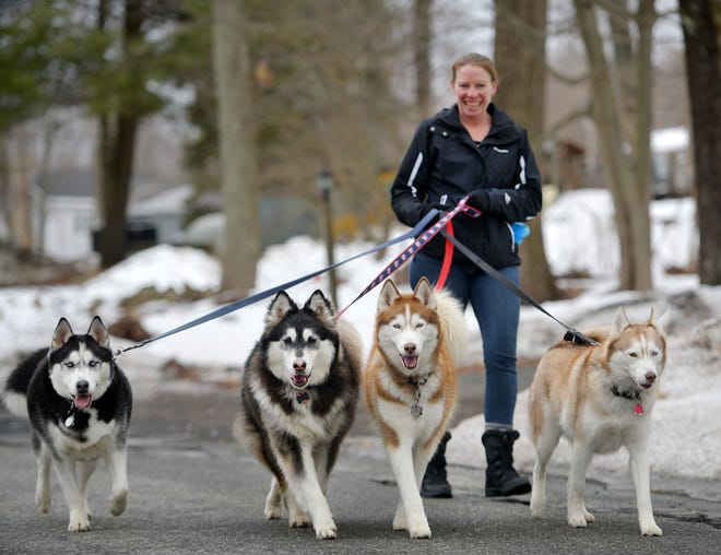 SUTTON - Amy Mullen-Thornton takes a break in her work schedule to walk her Siberian Huskies, Koda, Pan, Noah and Lucy on Sunday. Mullen-Thornton is involved with the Patriot Siberian Husky rescue, but these animals all belong to her.