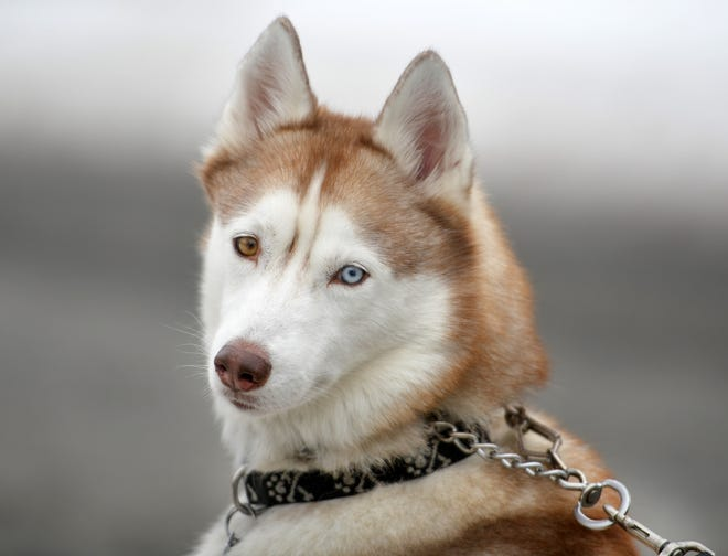 SUTTON - Amy Mullen-Thornton's female Siberian Husky, Lucy pauses for a close-up while on a walk on Sunday. Mullen-Thornton is involved with the Patriot Siberian Husky Rescue.