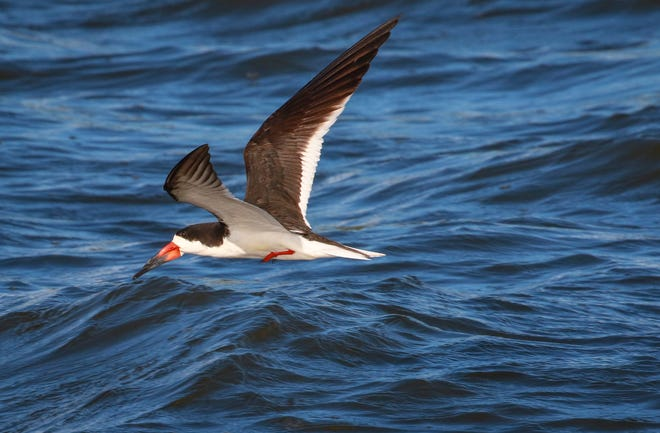 For the first time in Palm Beach County records, black skimmers are nesting in the Lake Worth Lagoon as restoration efforts build more sandy islands for them to hatch chicks. BENJI STUDT / PALM BEACH COUNTY ENVIRONMENTAL RESOURCES MANAGEMENT