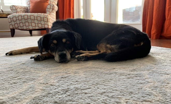 Let 'em lie: Senior dogs, like Mya, like to seek out soft, quiet places to be alone.
