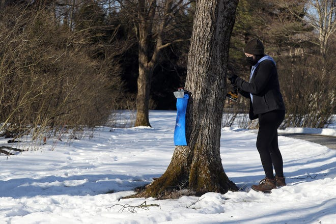 Volunteer Kayla Long of Columbus drills a hole into a sugar maple tree before inserting a tap to extract sap Feb. 25 at Shepherd's Corner Ecology Center, 987 N. Waggoner Road in Blacklick.