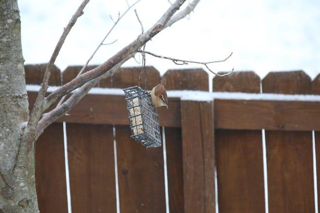 Bird feeding: A wren stands on a suet feeder.
