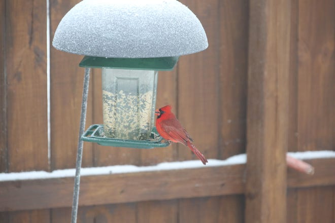 Bird feeding: A cardinal rests on a feeder. It's one of the many species of birds enthusiasts can expect to see this spring