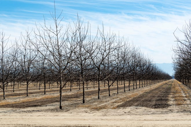 Visalia farms about 600 acres of walnut and pecan trees west of Highway 99 and south of Highway 198. The orchards are projected to lose nearly $2 million since 2019 as tree nut prices stay low.