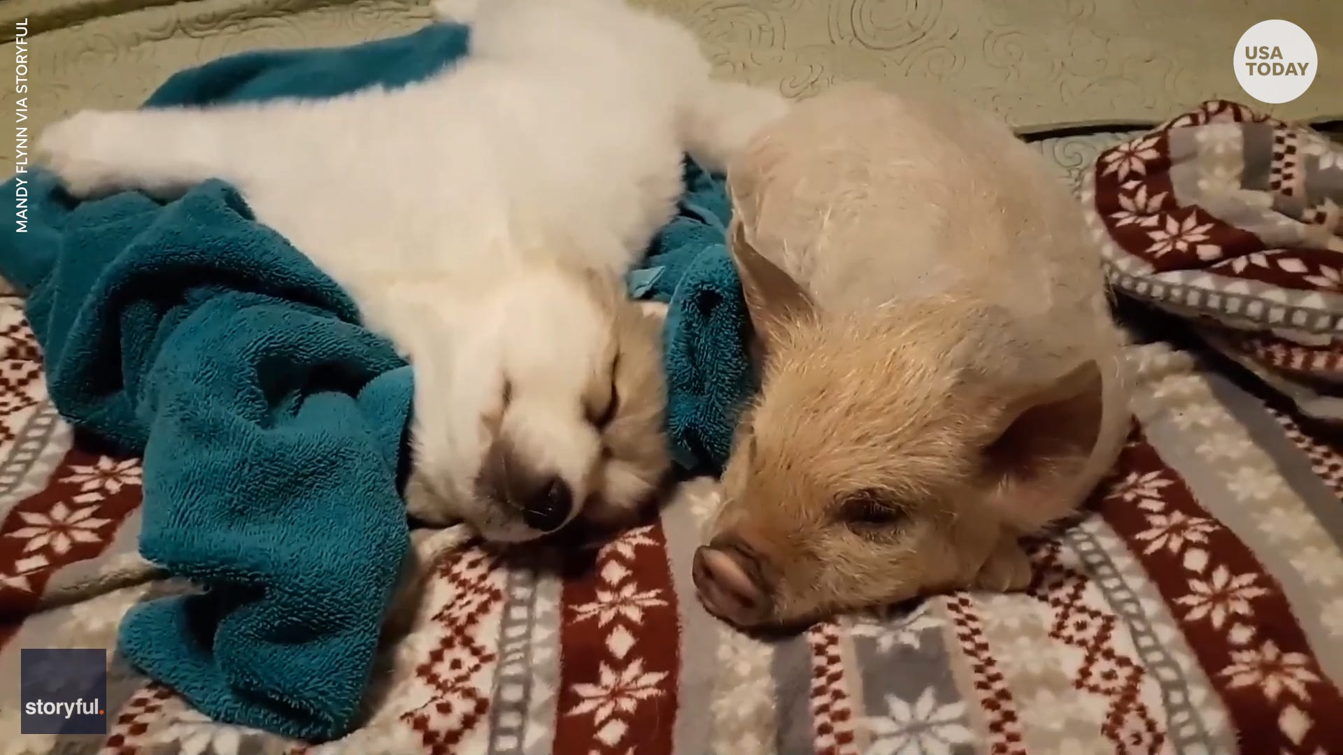 Hogs and kisses: This pig and puppy can't get enough of each other