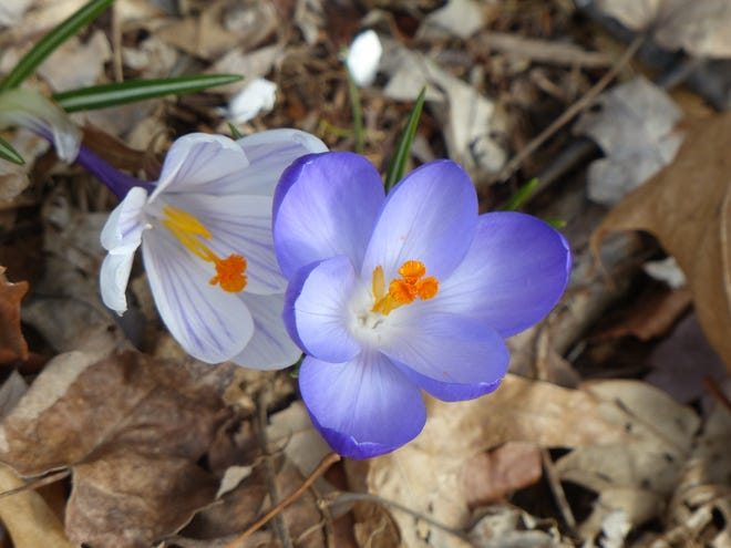Members of the Perry Ministerial Association will be sharing a weekly reflection with the community in place of the Tuesday Lenten services. This Easter, many believers may emerge to worship like the early crocus flowers from ground chilled by months of winter winds, writes Chaplain Terry Wilkinson.