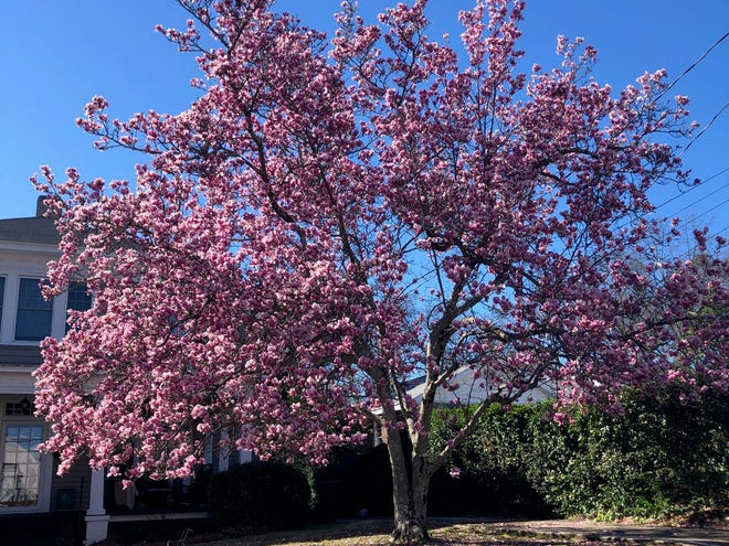 A Saucer Magnolia shows its full color Wednesday on Carolina Avenue in North Augusta.