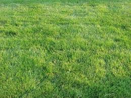 Wait until your lawn is completely green before fertilizing, even if that's not until April.