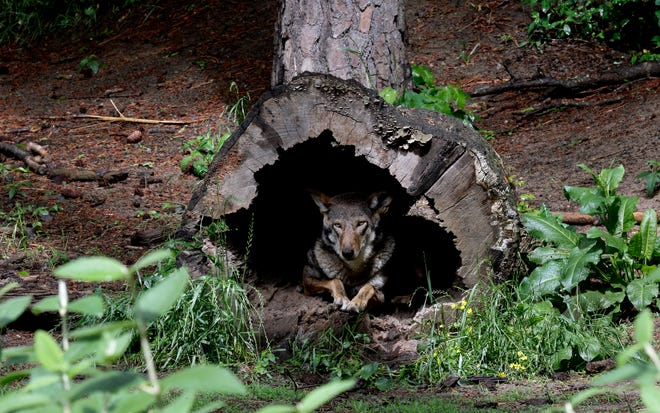 In this May 13, 2019 photo, a female red wolf peers from within a tree trunk in its habitat at the Museum of Life and Science in Durham. Government wildlife officials say in a court filing that they have released two more critically endangered red wolves into the wild in North Carolina and could place several more captive-bred wolves into the habitat this year. The U.S. Fish and Wildlife Service said in the filing Monday, March 1, 2021,  that it brought two male wolves from a Florida wildlife refuge, paired them with wild female wolves from North Carolina and let them loose in February.  (AP Photo/Gerry Broome)