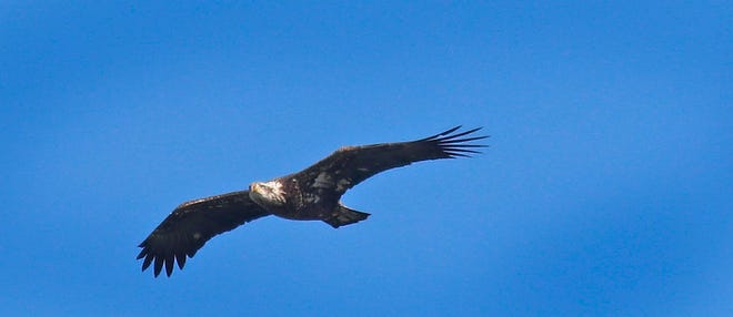 An immature bald eagle soars over Hingham Harbor on Wednesday March 3, 2021 Greg Derr/The Patriot Ledger