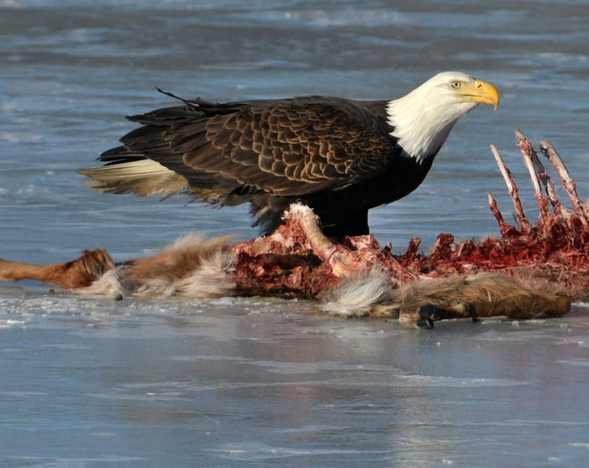 An adult bald eagle looks up after dining on a deer carcass Tuesday.