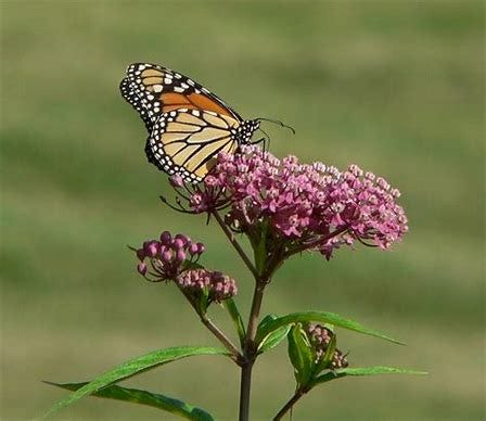 A monarch butterfly on a blooming swamp milkweed.