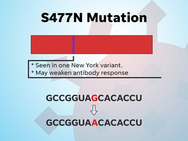 The S477N mutation could weaken antibody responses.