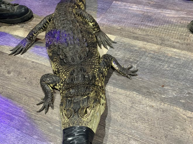 A crocodile measuring approximately four feet long was found by drug investigators in Oxnard during an arrest on Tuesday.