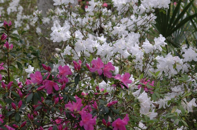 Plan to fertilize your azaleas lightly four times a year -- in spring, summer, fall and winter -- up to ¼ pound of fertilizer to each mature plant