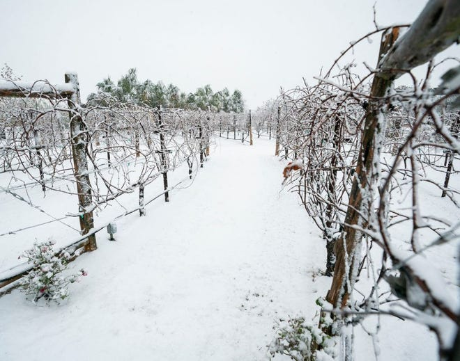 Snow-covered grapevines are pictured after the recent winter storm. Preliminary reports show Winter Storm Uri caused at least $600 million in agricultural losses across Texas.