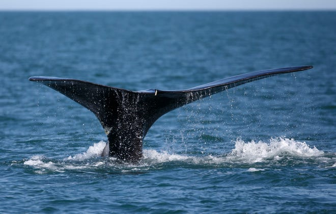 A North Atlantic right whale surfaces in Cape Cod Bay off the coast of Plymouth, Mass. [ASSOCIATED PRESS FILE PHOTO]