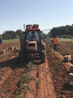 Volunteers with the Potato Project harvest sweet potatoes in the fall of 2020.