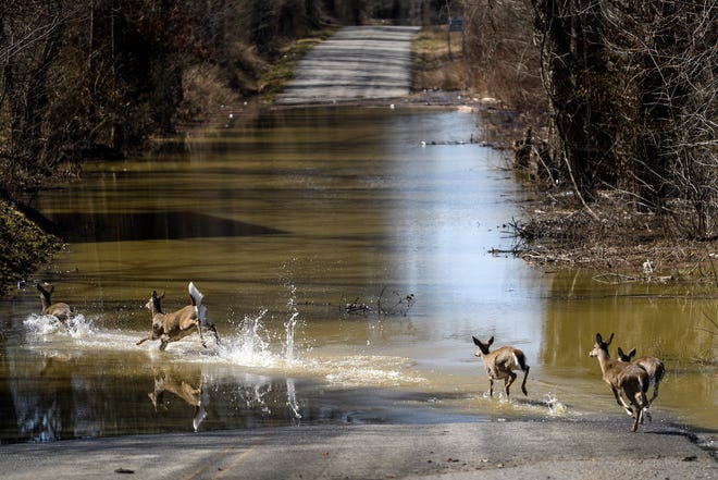 A group of deer cross high water along Stratman Road, located close to U.S. 41 in Henderson, Ky., Thursday morning, March 4, 2021. As the Ohio River rises above flood stage, herds of deer – hemmed in by high water – are often forced to cross flooded roads near the twin bridges because their usual bottom-land passages under the bridges are under water.