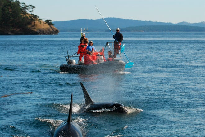 Scientists look for clues about the diet of the Pacific Northwest's endangered orcas using a pool skimmer to collect the scales or other remains of salmon the whales had eaten in September 2008. A long-term study published Wednesday, March 3, 2021, reaffirmed the importance of Chinook salmon to the whales even when they cruise the outer Pacific Coast, where the fish are harder to find.