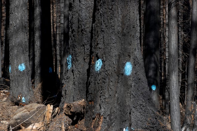 Blue dots are spray-painted on trees to designated as hazardous and needing to be removed near Highway 22 near Idanha, Oregon on Wednesday, March 3, 2021. A system of spray-painted dots, determined by an arborist, labels trees are needing removed or not.