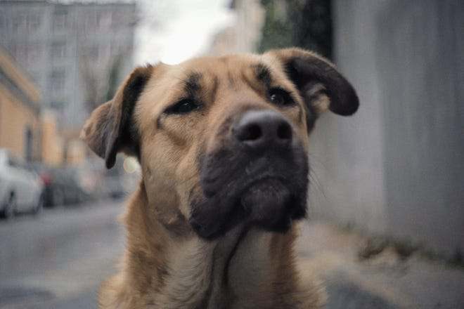 "Zeytin, a stray dog in Turkey, is the central character in Elizabeth Lo's documentary feature ""Stray,"" streaming at athenscine.com beginning March 5, 2021."