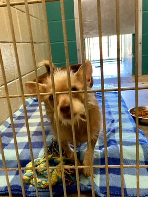 Hitch waits for a potential adopter in the kennel at the Aiken County Animal Shelter.
