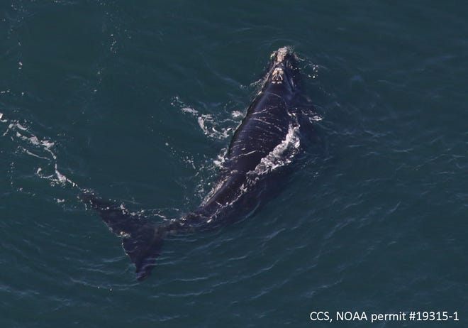 """The 2021 calf of right whale #3520, named """"Millipede,"""" photographed in Cape Cod Bay by the Center for Coastal Studies Right Whale Aerial Survey team on March 3."""