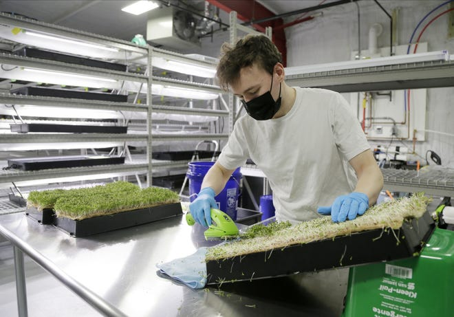 Artisan Growers co-owner Andrew Herczak uses clippers to harvest 10-day-old sorrel at the company's Near East Side vertical farm.