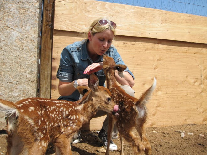 """Tracy Nichols, an Adrian High School graduate and former Lenawee County native, was named """"Scientist of the Year"""" in November by the Animal and Plant Health Inspection Service (APHIS) for her work in studying chronic wasting disease (CWD) in farmed animals. Here, Nichols tends to some fawns that were part of a CWD study to understand the ability of CWD to transmit inter-nasally on dust particles. APHIS is a research division of the United States Department of Agriculture (USDA)."""