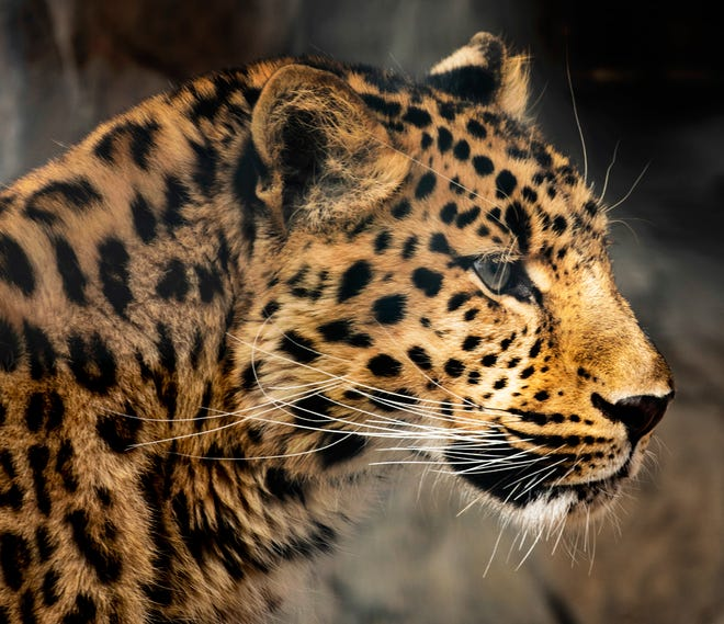 Milo, a 1 1/2-year-old male Amur leopard, is the latest addition to Lee Richardson Zoo. The leopard comes from the Rosamond Gifford Zoo in Syracuse, NY.