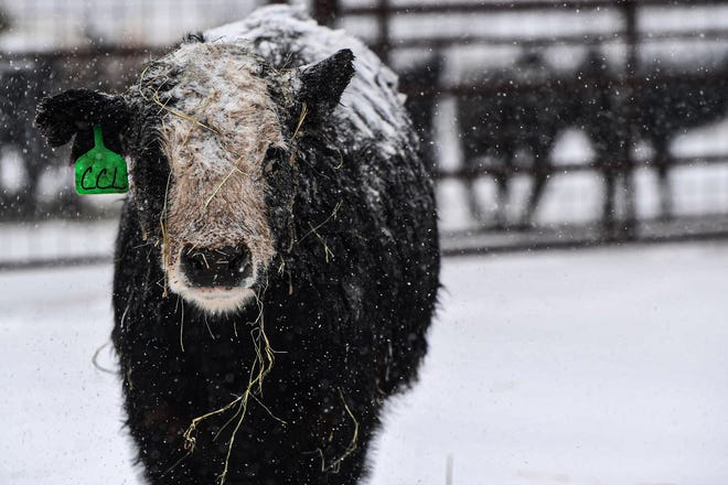 A black baldy heifer braves the cold temps and snow the accompanied Winter Storm Uri as it passed through Texas last month.