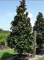Teddybear® Southern Magnolia