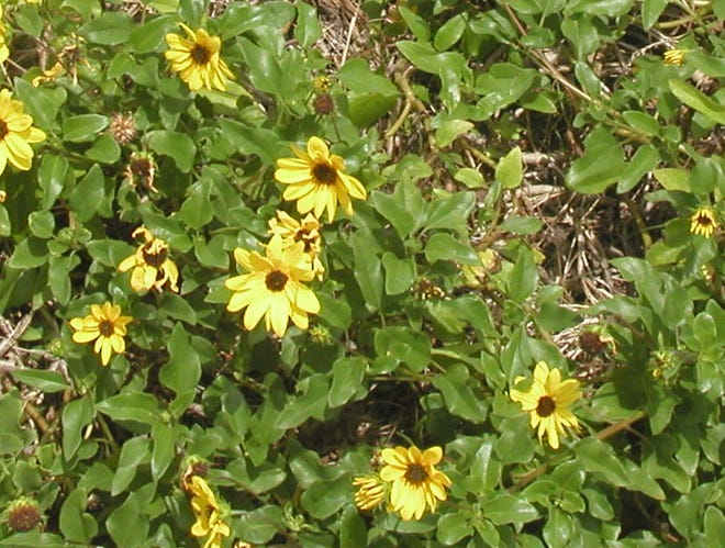 Dune sunflowers are among Brevard's native plants that support healthy bird and insect life.