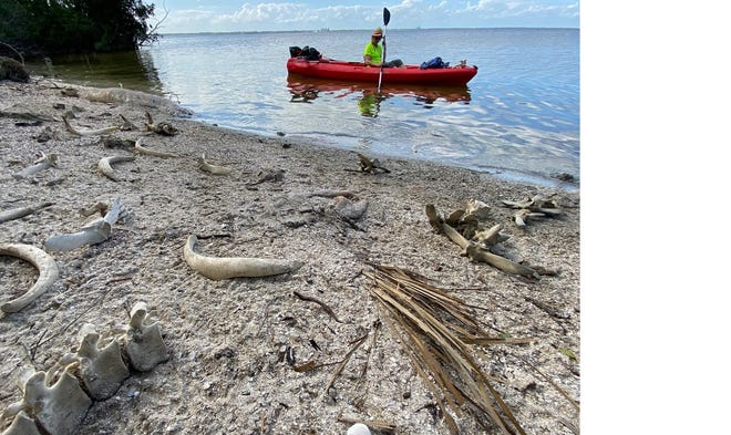 Linda Stasik of Merritt Island paddles on Feb. 27, 2021, near Manatee Cove Park, where the remains of more than a dozen dead manatees were sprawled along the shore.