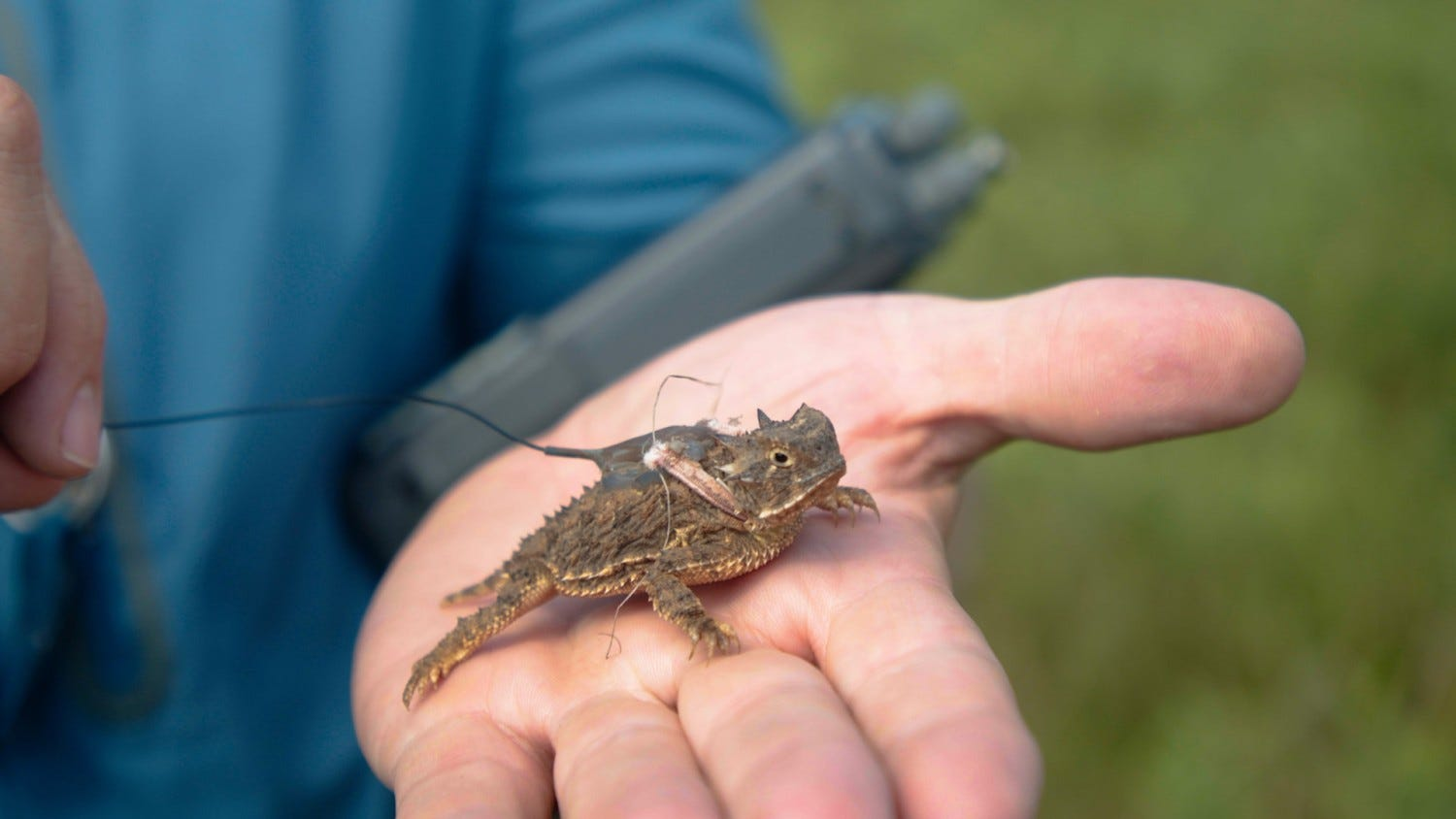 Horny toads are disappearing. Can they be saved? 2