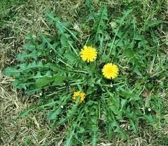Corn gluten meal is a an option for killing dandelions in your yard rather than using herbicides.