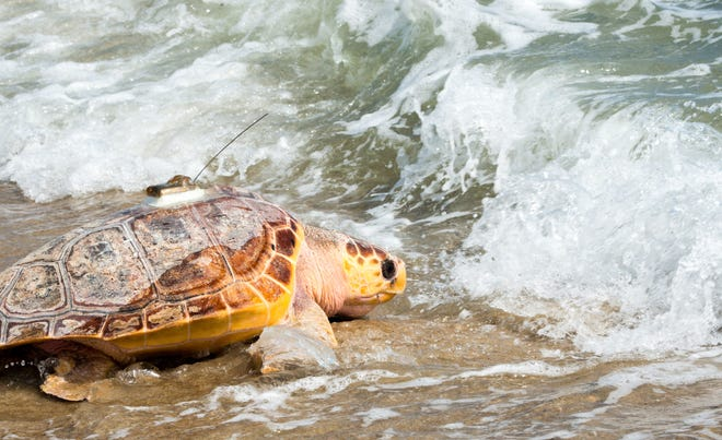 Sea turtles, like this loggerhead released at Craigville Beach, will be part of the discussion Saturday at a virtual version of the Cape Cod Natural History conference.