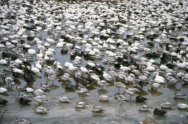 Snow geese flock on ice at Squaw Creek National Wildlife Refuge.