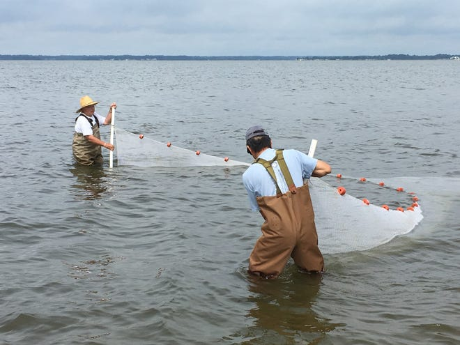 Volunteers with the center's Shorezone Fish & Blue Crab Survey use 30-foot-long seine nets to catch fish and document what was caught before returning the animals to the water.