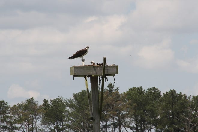 The Delaware Center for the Inland Bays is gearing up for the 2021 survey season by hosting trainings for volunteer participants this March. The center's newest volunteer program is an Osprey Survey, which will set a baseline for the number of currently active osprey nests in the Inland Bays watershed.