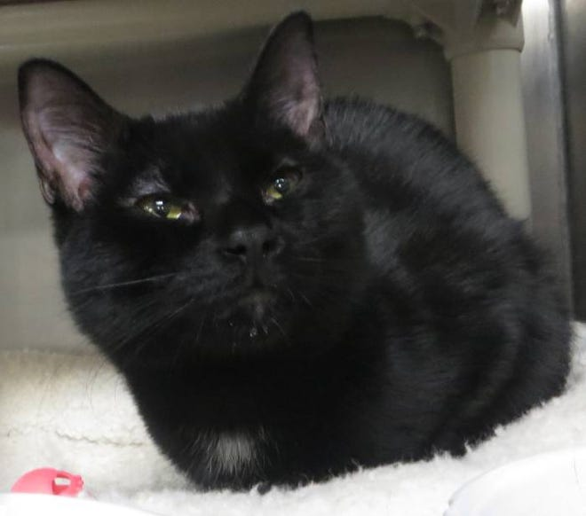 Rocky is a young cat who needs a new home, as his previous family could no longer care for him.